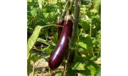 Aubergine Longue Violette de Barbentane     0.5gr  (+/-120 graines)